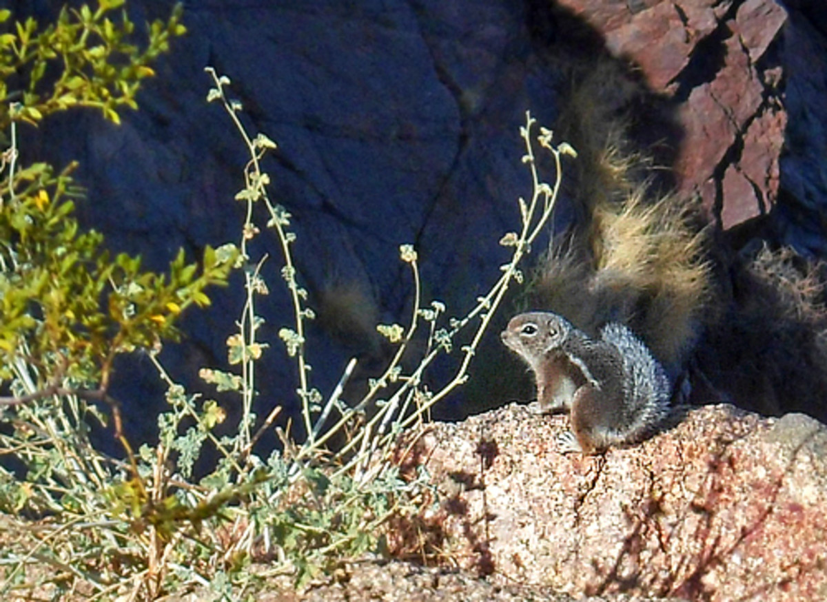 Harris' antelope squirrels make their home on the mountain.