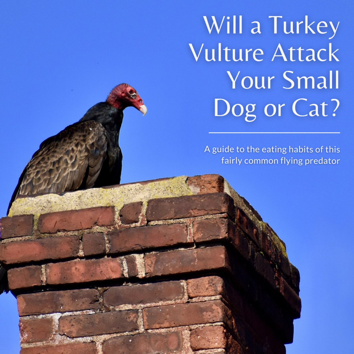 This article will break down why you don't need to worry about turkey vultures attacking your pets.