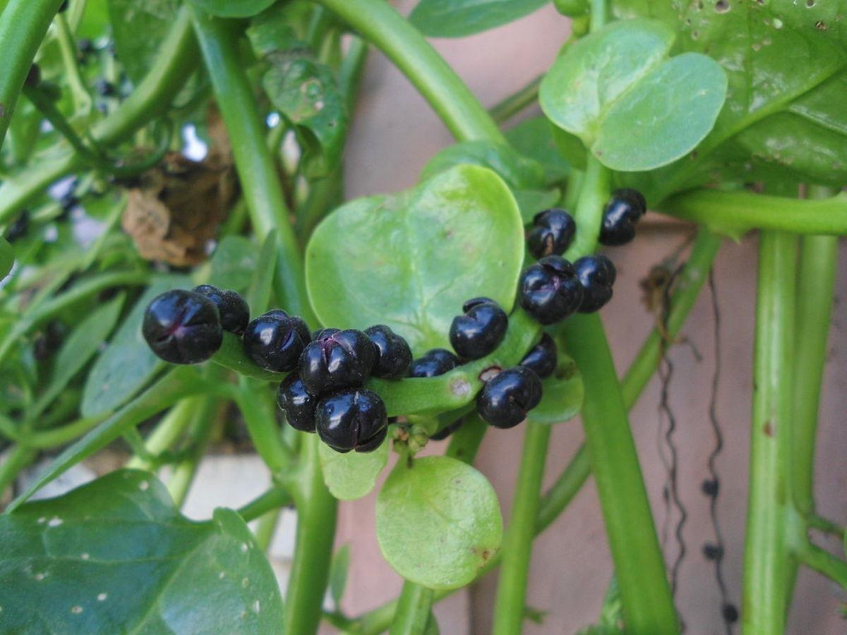 The berries are reddish black.