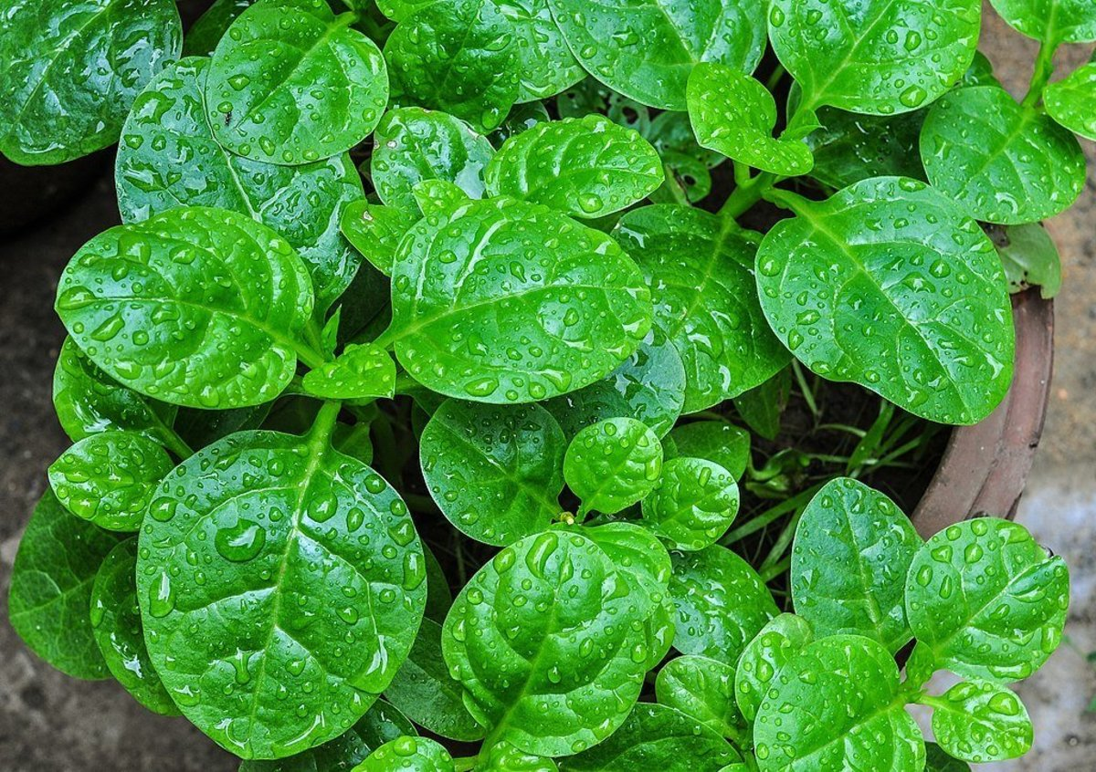 how-to-grow-malabar-spinach-an-edible-tropical-vine