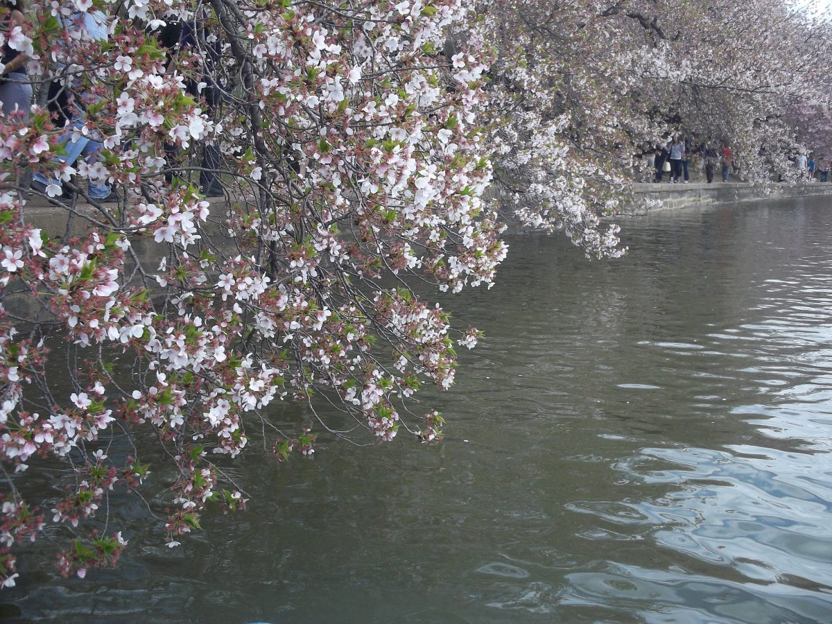 Cherry Blossoms on the water
