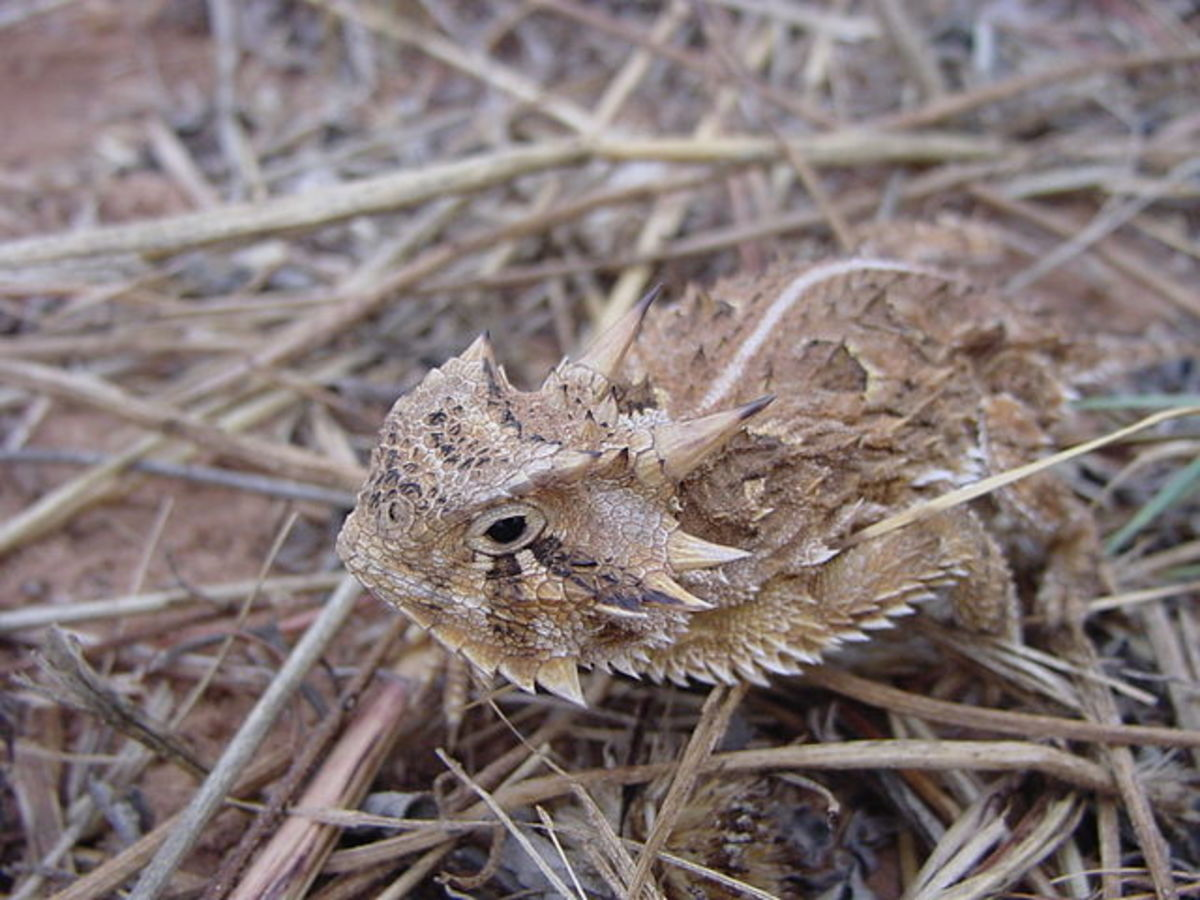 The Horned Lizard – A Very Unique and Interesting Reptile