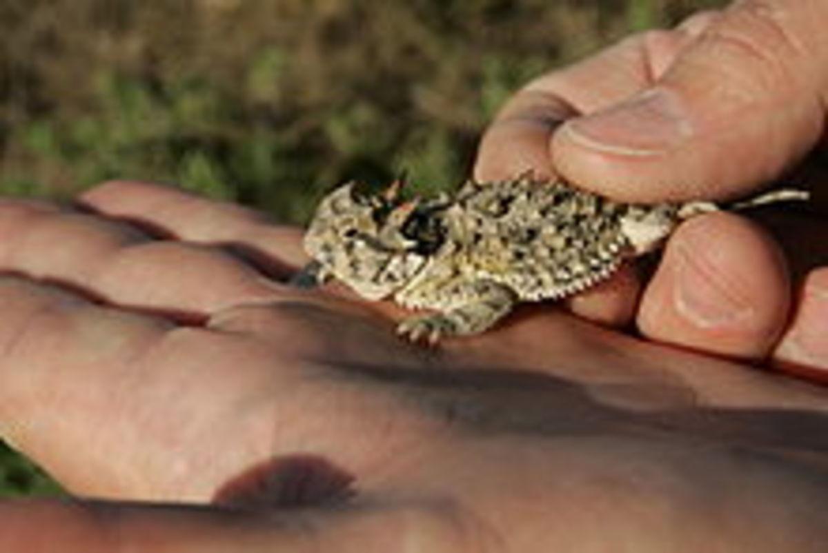 Small Texas Horned Lizard