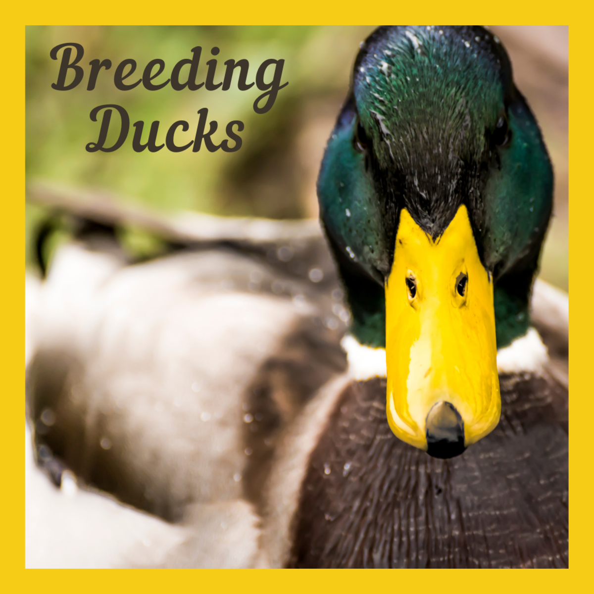 Learn how to breed ducks like a pro