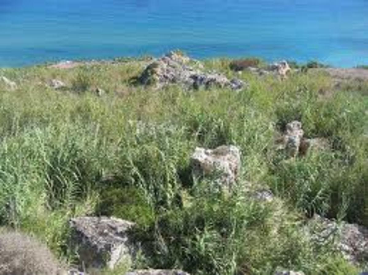 Reeds grow wild in Gozo.