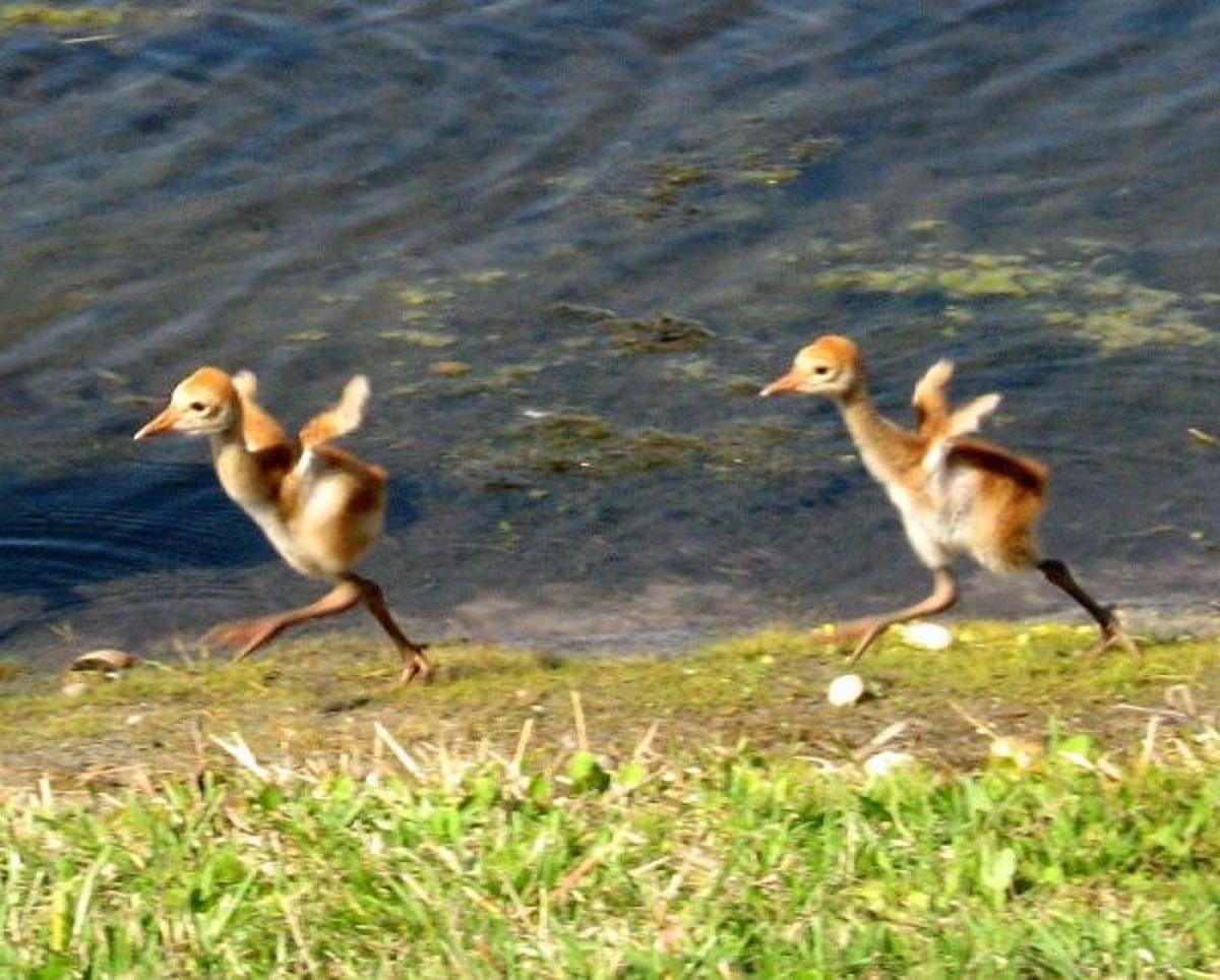 baby sandhill cranes, twins, running