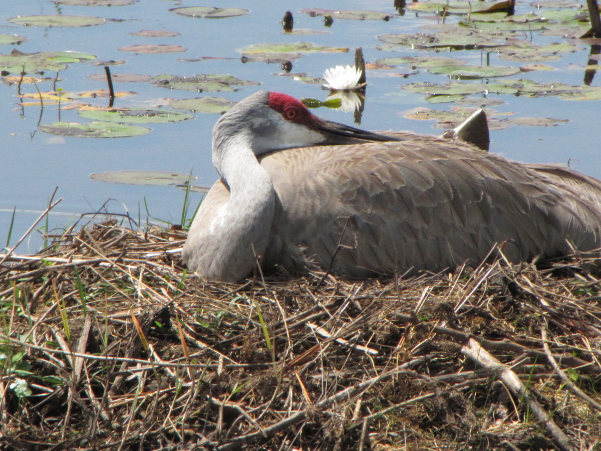 This nest is on a small island in a drainage ditch.  The parents take turns sitting on the eggs which gives the other crane a chance to go forage for food.