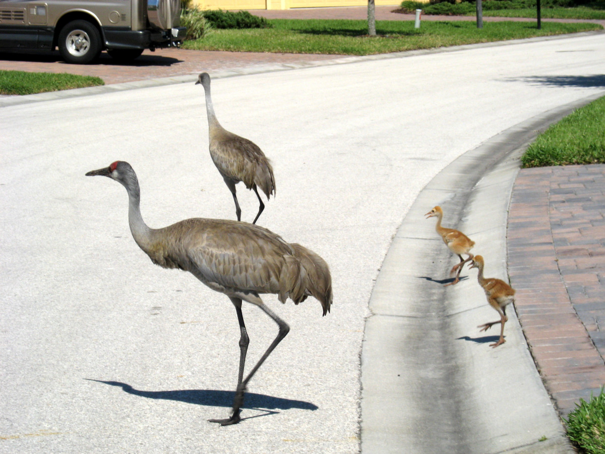 The cranes aren't very road wise, so drivers need to slow down and watch for them. Sometimes, they blend in with the gray pavement and you have to be alert to spot them.