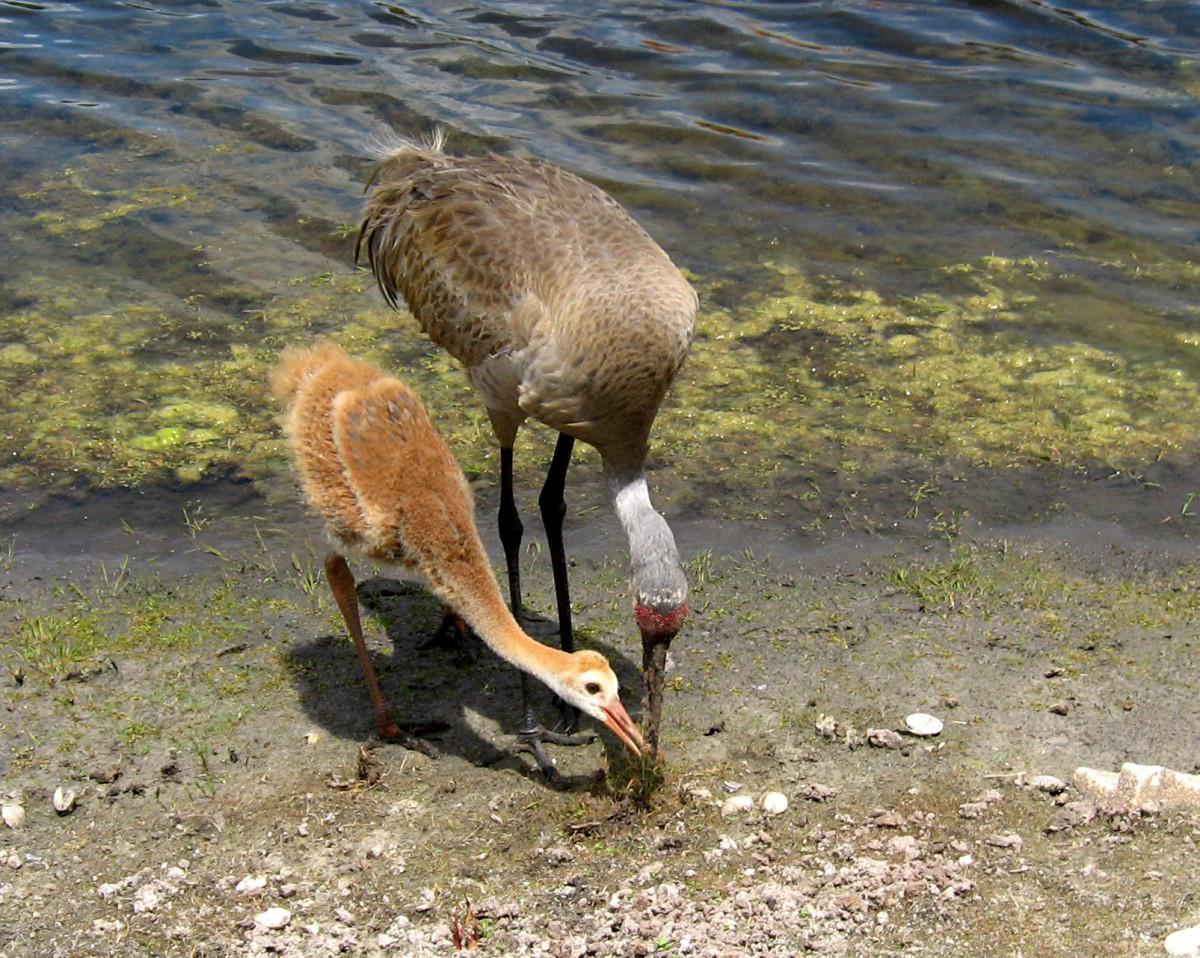 The parents teach the chicks to hunt for food but also feed them over a long period of time as they are growing.