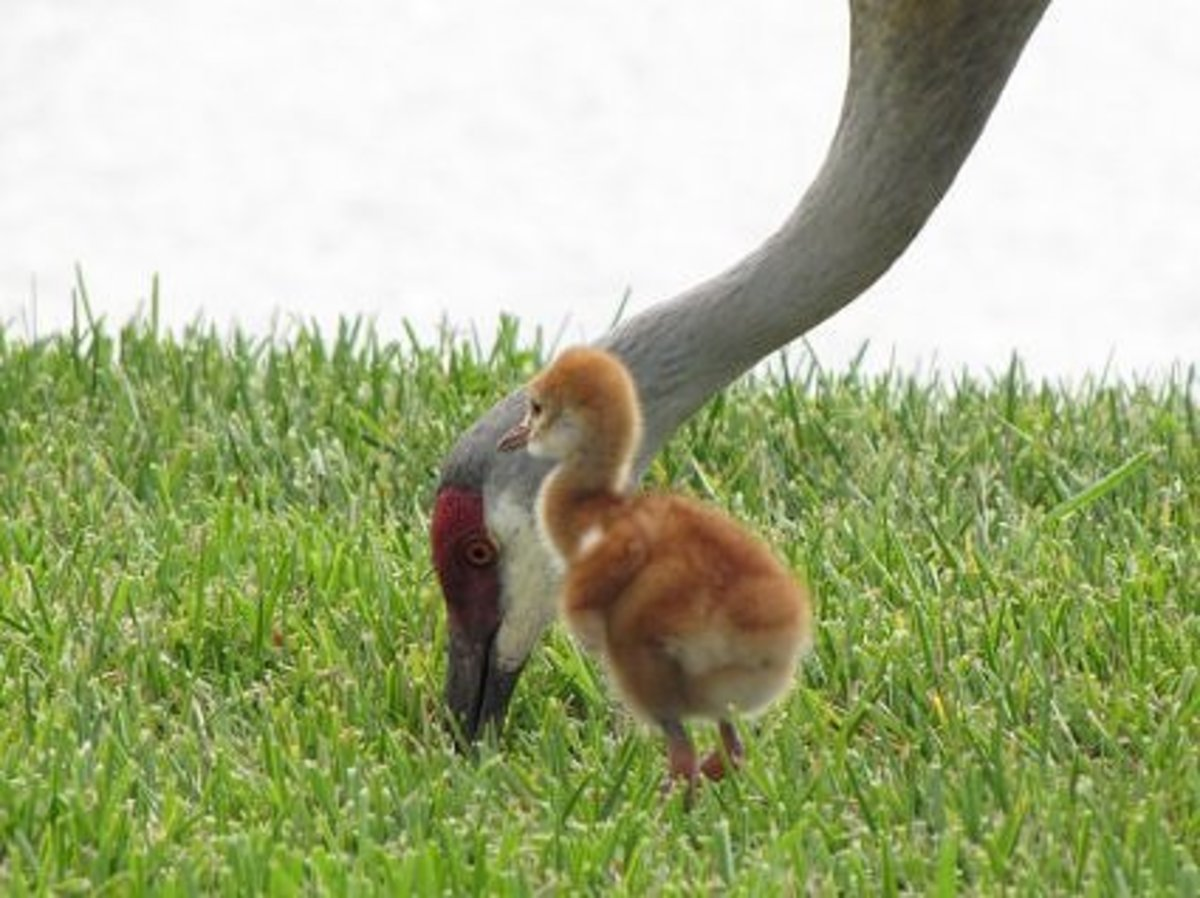 A baby sandhill crane keeping close to the parent who is finding food.