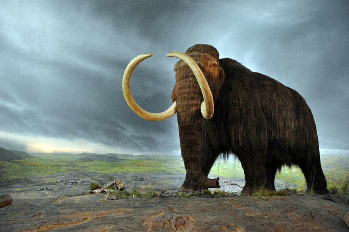 Woolly Mammoths' size made them quite formidable. This model is from the Royal B.C. Museum.