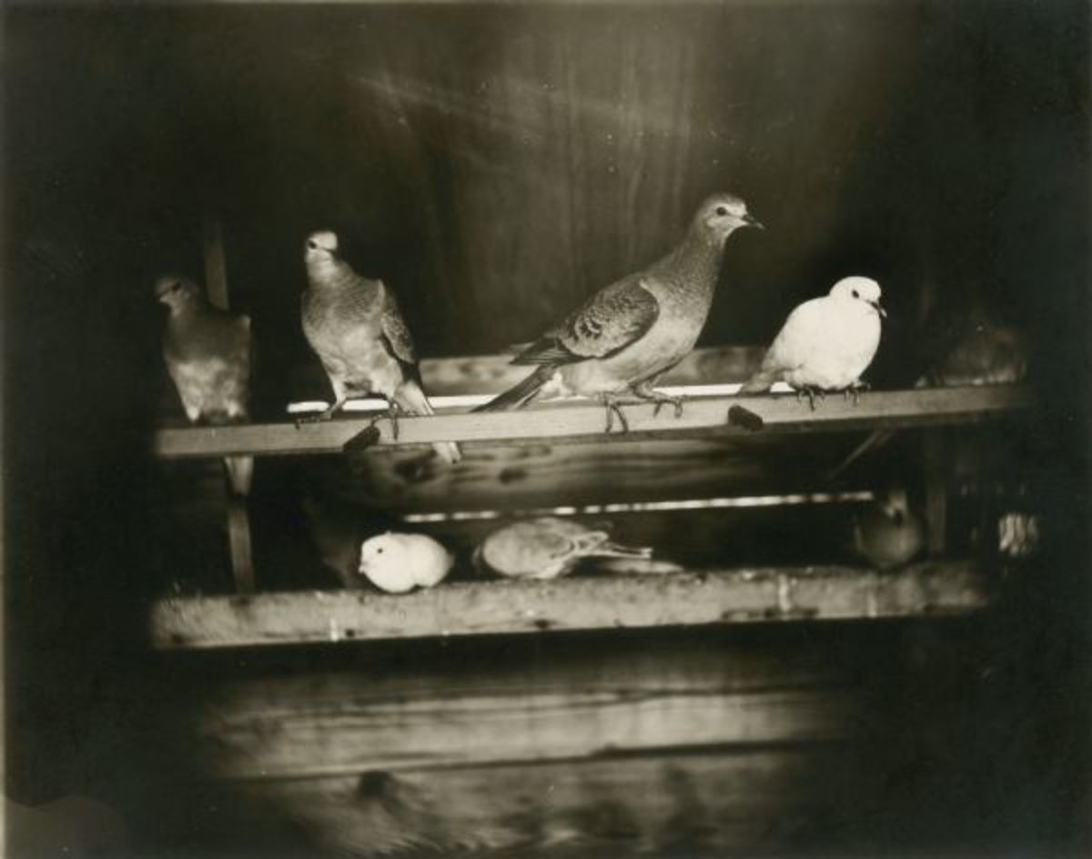 Passenger pigeons roosting together.