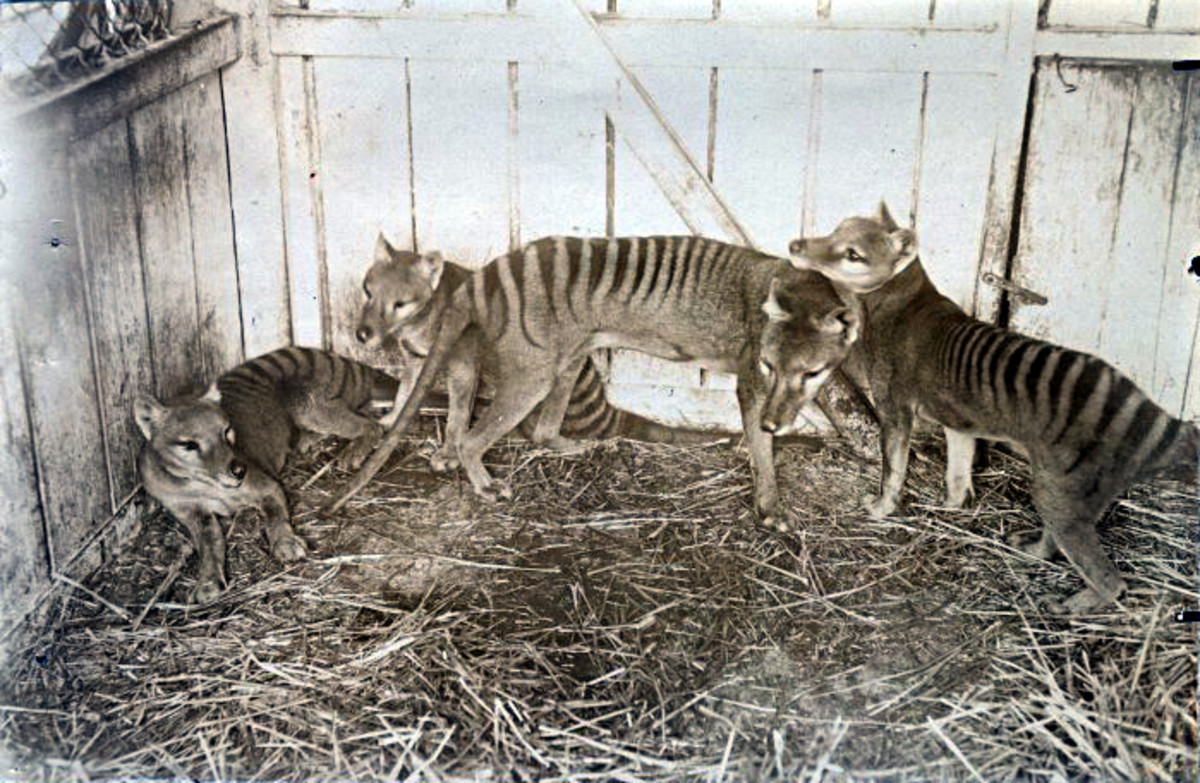 Thylacines in a zoo pen.