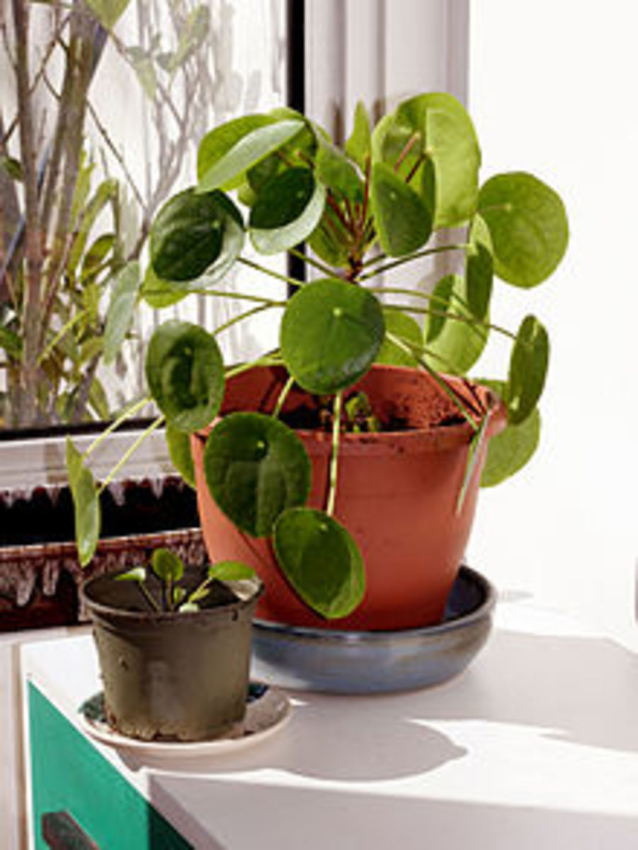 Pilea with a Daughter Plant