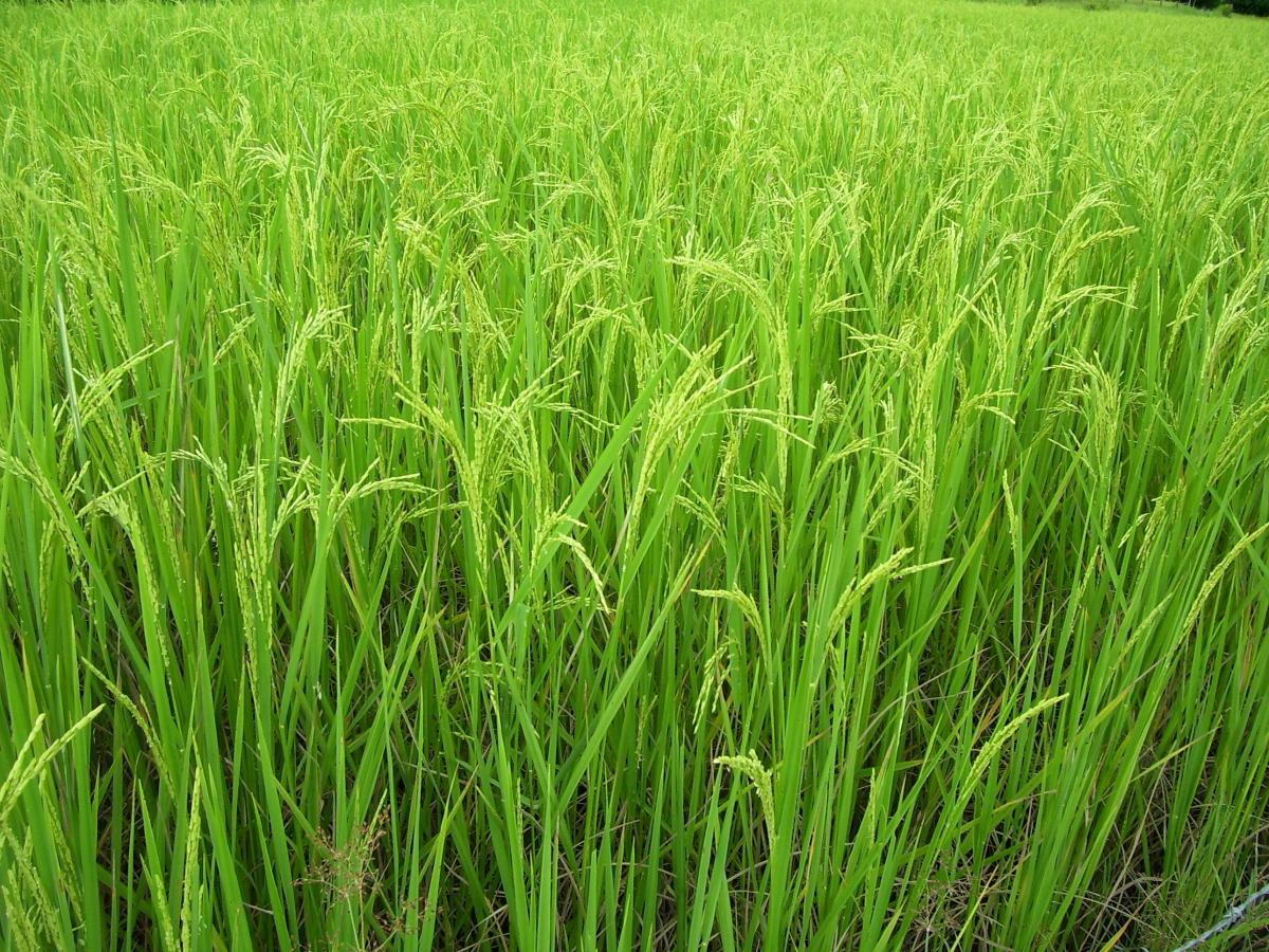 Rice Paddi