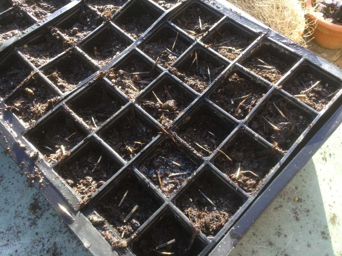 how-to-grow-marigolds-for-free-from-harvested-seed