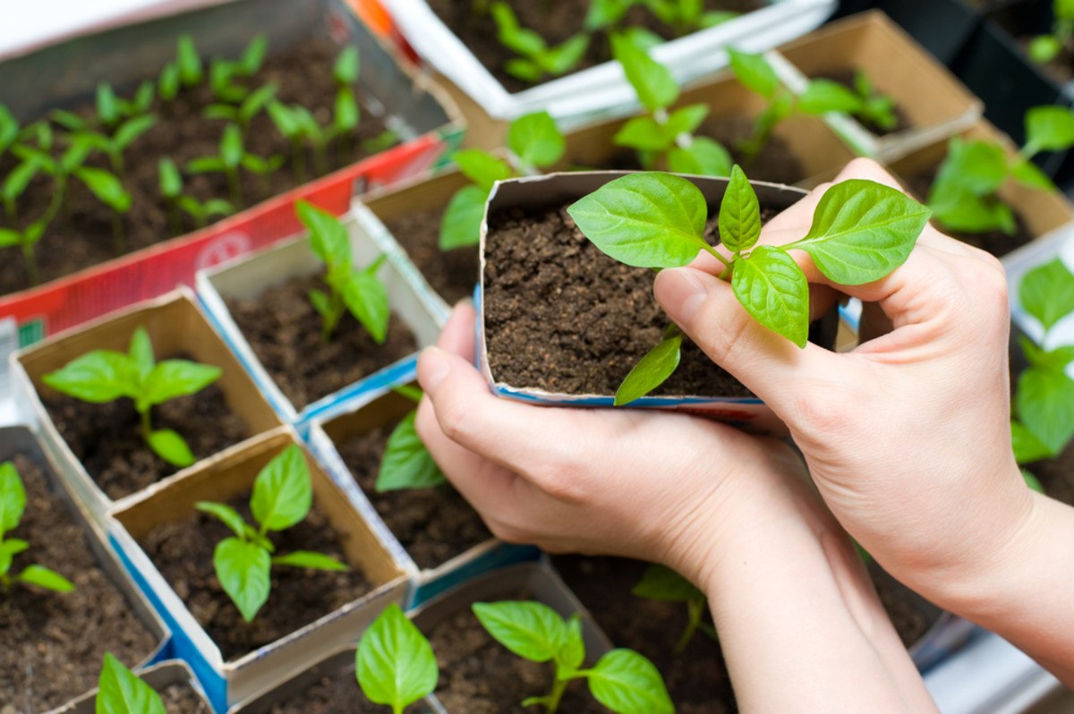 Growing From Seed Can Be Both Pleasurable and Satisfying!