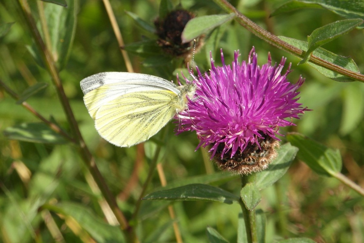 Green veined white butterfly on knapweed
