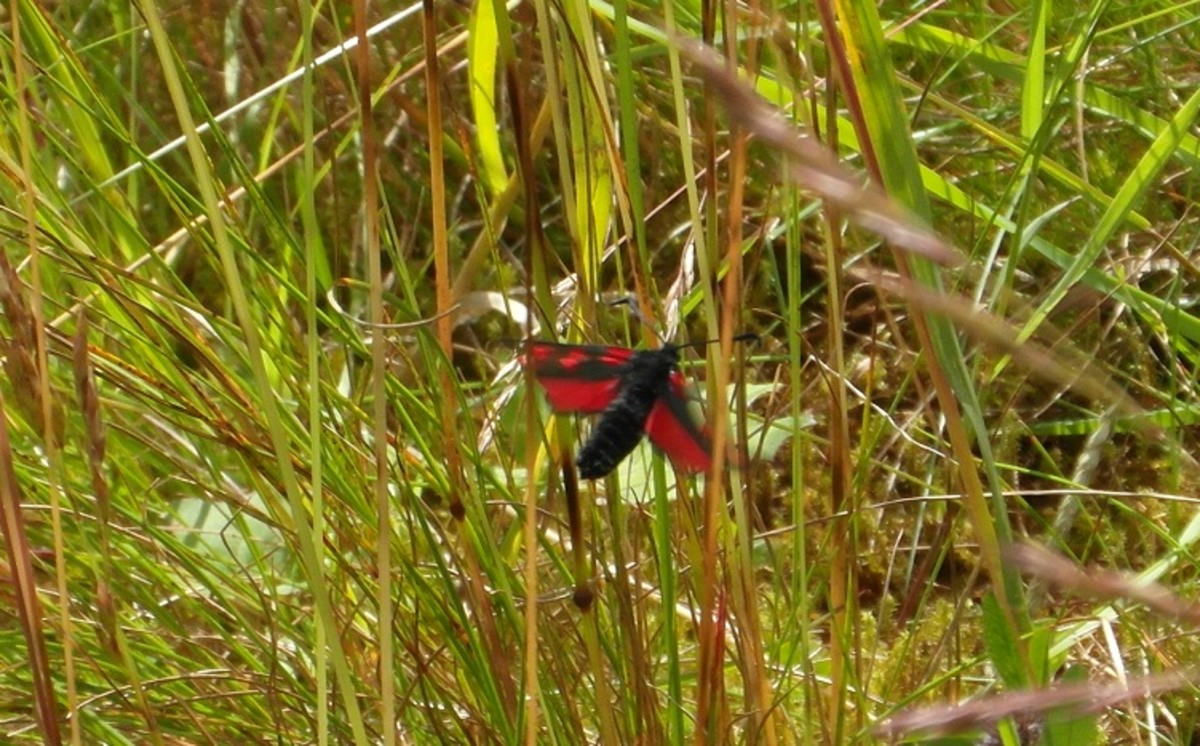 Burnet moth in flight