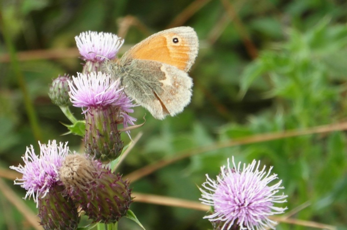 Small heath on thistle flower
