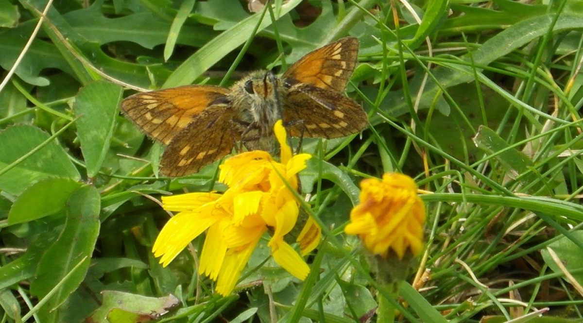 Large Skipper I think