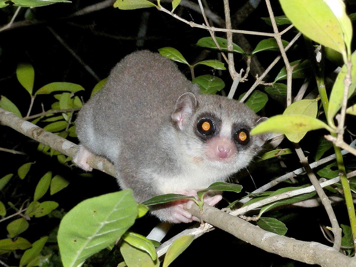 A fat-tailed dwarf lemur in Kirindy, Madagascar