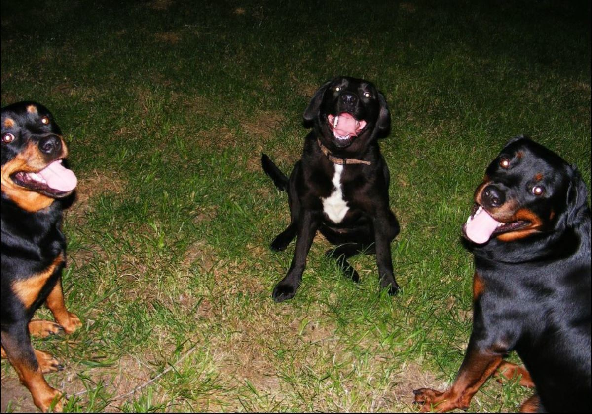 Our Rottweilers got along with other dogs as long as they were well-trained and respectful.