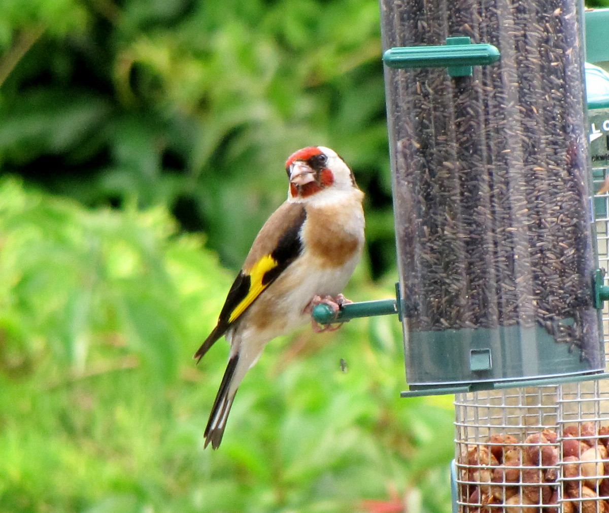 Goldfinch on a garden bird feeder.