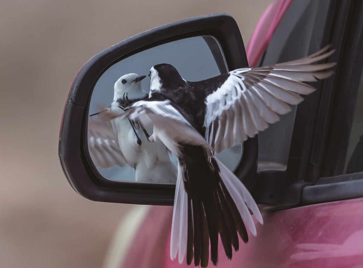 A White Wagtail attacks its own reflection in a car's wing mirror.