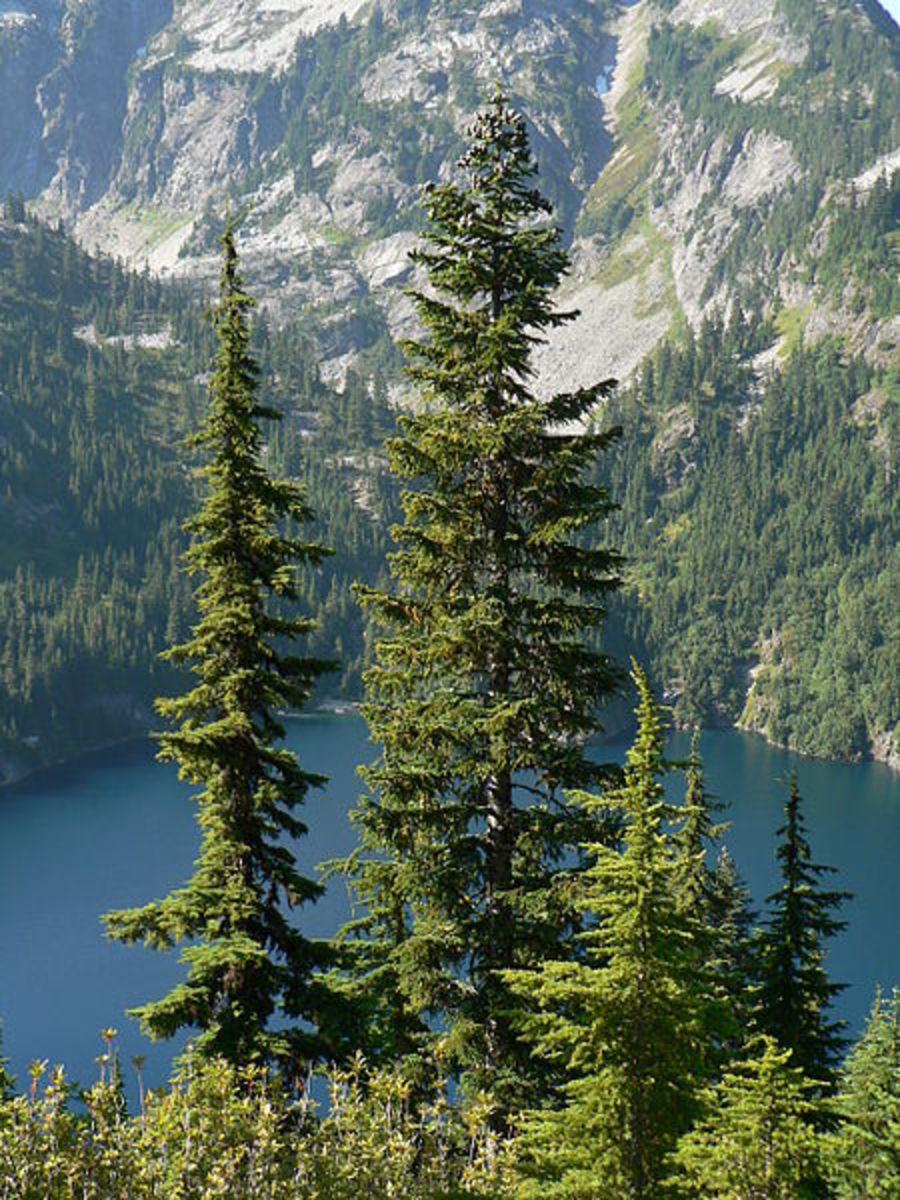 Subalpine Fir (center) among Tsuga mertensiana, Lower Thornton Lake, 4486 feet, 1367 m (behind)