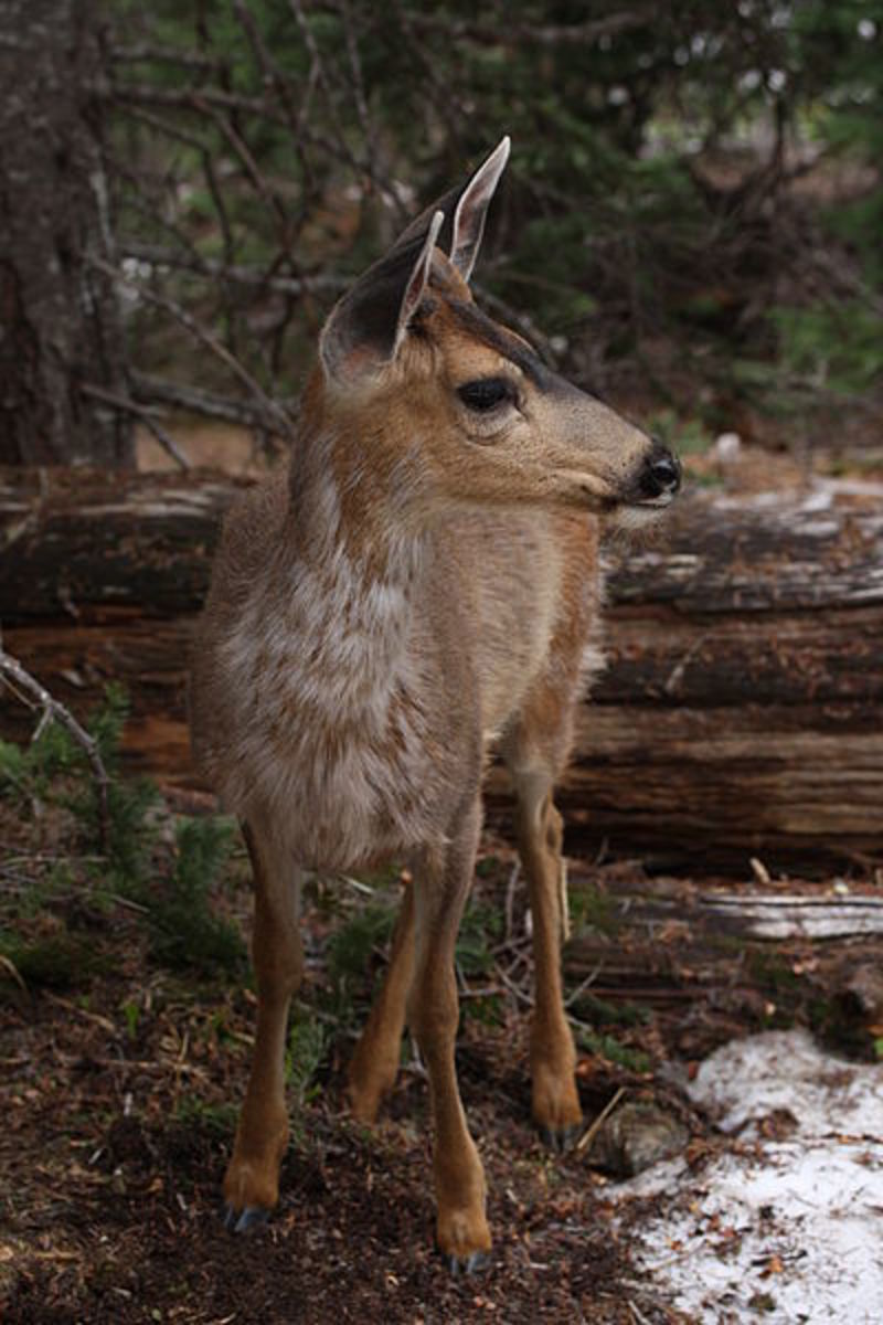 Columbian Black-tailed Deer, Coast Deer male