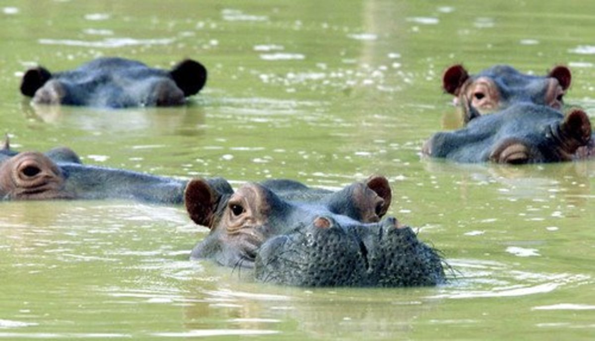 A few of Colombia's hippos.
