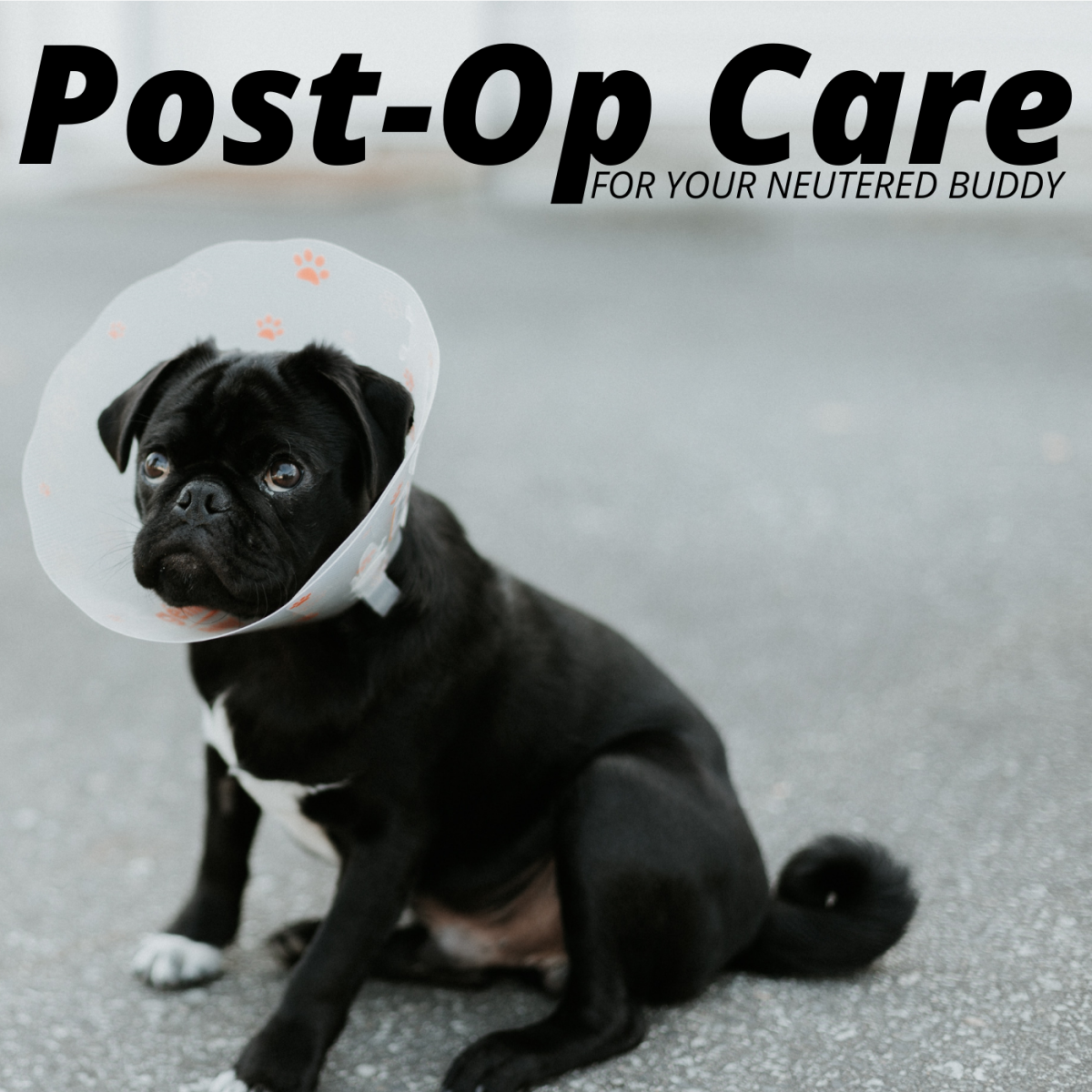 When it comes to neutering surgeries, recovery is important!