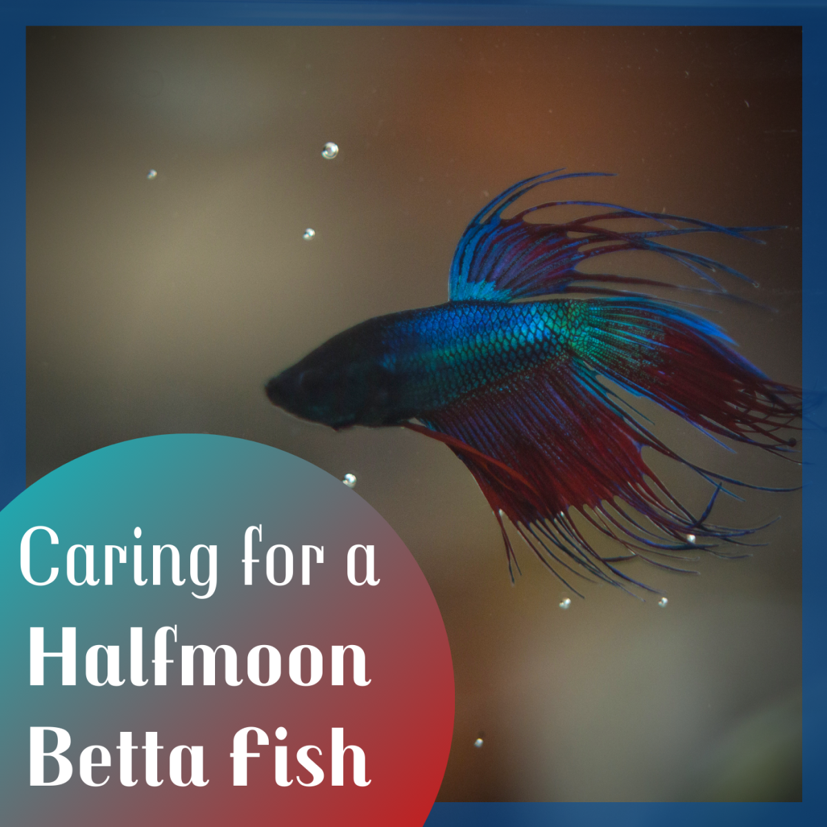This fish is technically a crowntail betta, which is in the same family as halfmoon betta fish.