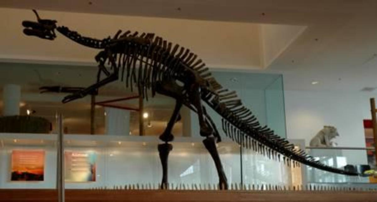 skeleton of Tsintaosaurus