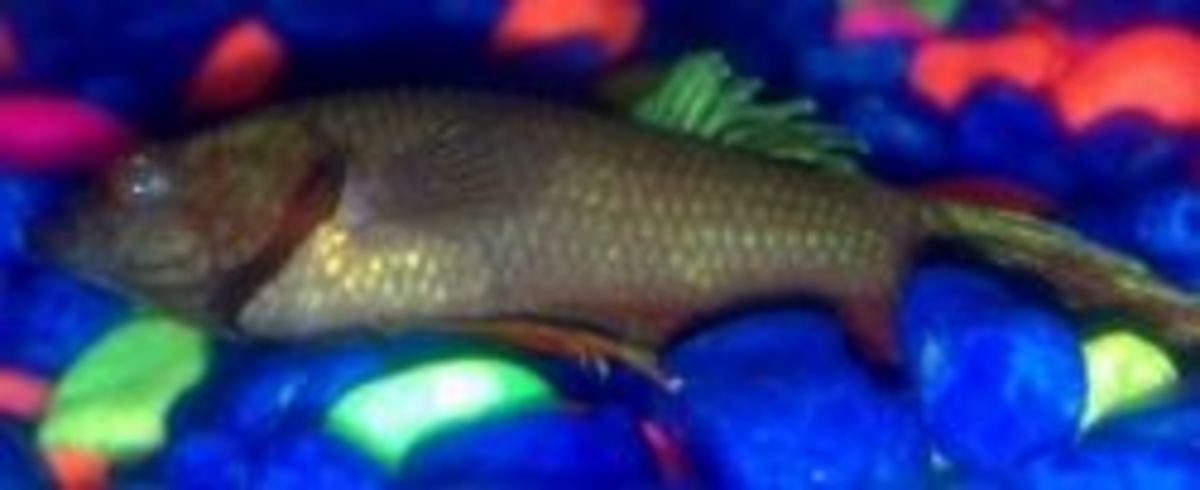 betta swim bladder disorder