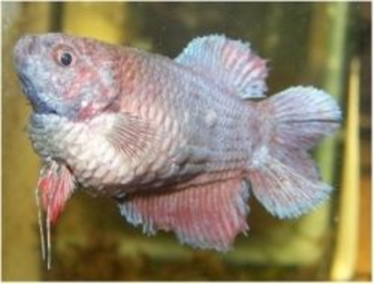 Betta fish care tips hubpages for Betta fish dropsy