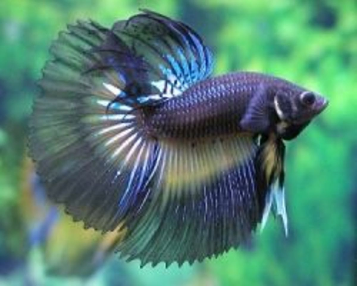 betta fish care tips