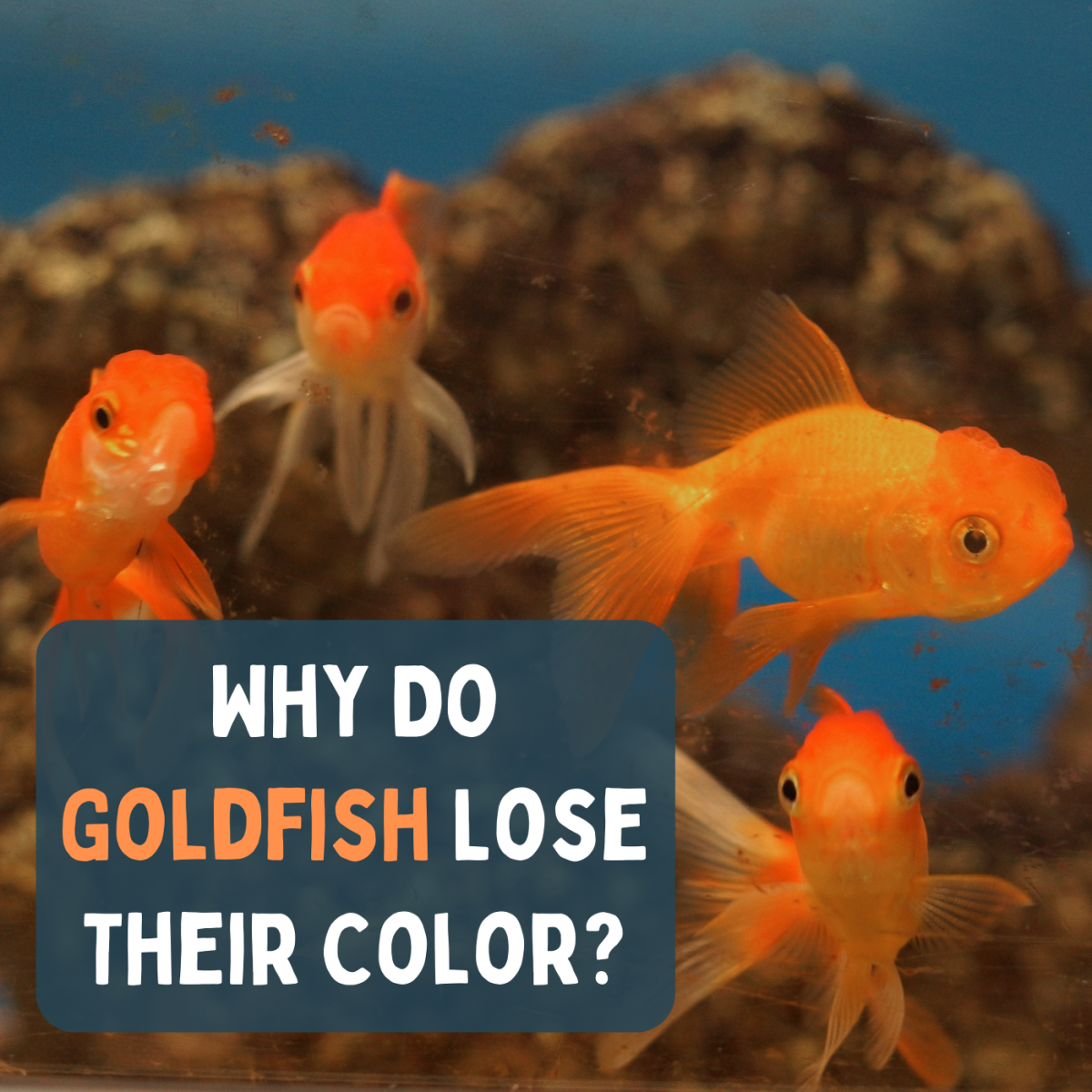 If you bought your goldfish for its color, you may be disappointed.