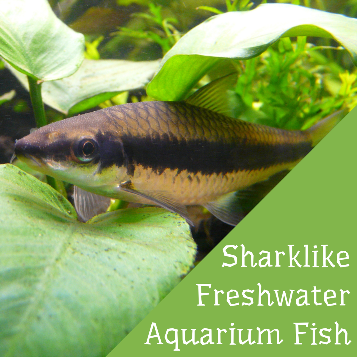 The Siamese algae eater is just one example of a sharklike fish you can keep in a freshwater home aquarium.