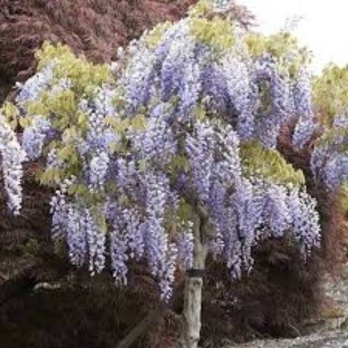 There is no more beautiful sight than a Wisteria Tree in full bloom. During the month of May, the tree is fully covered in purplish-blue flowers.
