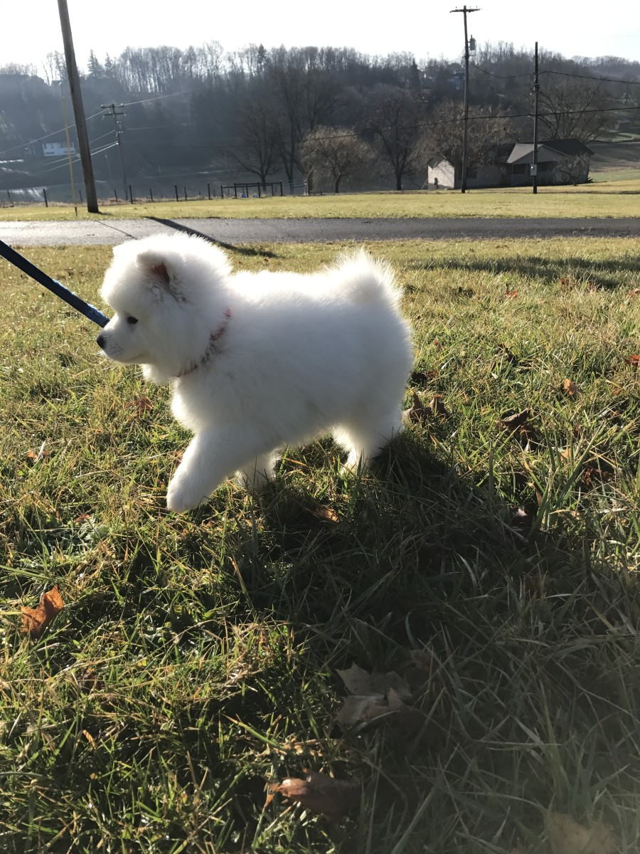 There are many benefits to keeping the puppy on a leash.