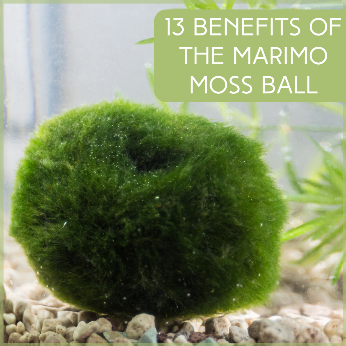 Discover what a moss ball can do for your aquarium, from absorbing nitrates to offering shrimp a snack.