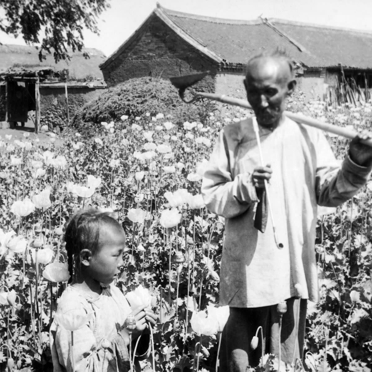 Opium fields in Yunnan: these were an important part of the revenue of French Indochina