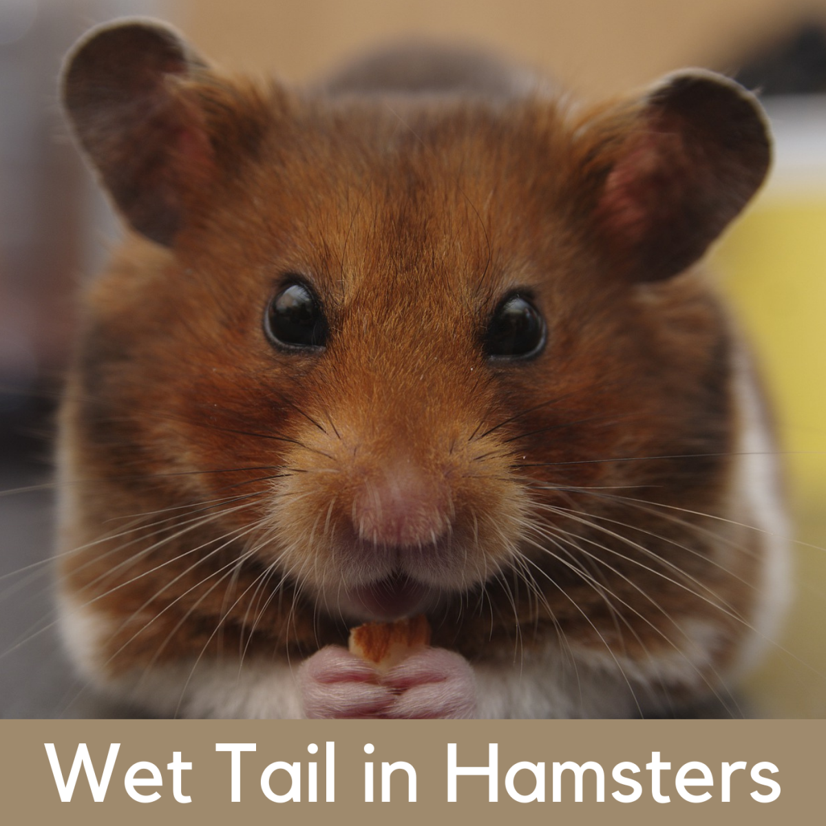 Learn how to identify the symptoms of wet tail, a serious condition that needs to be treated by a vet.