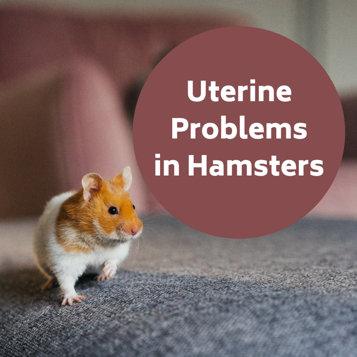 Uterine Problems in Hamsters: Signs, Symptoms and Treatment