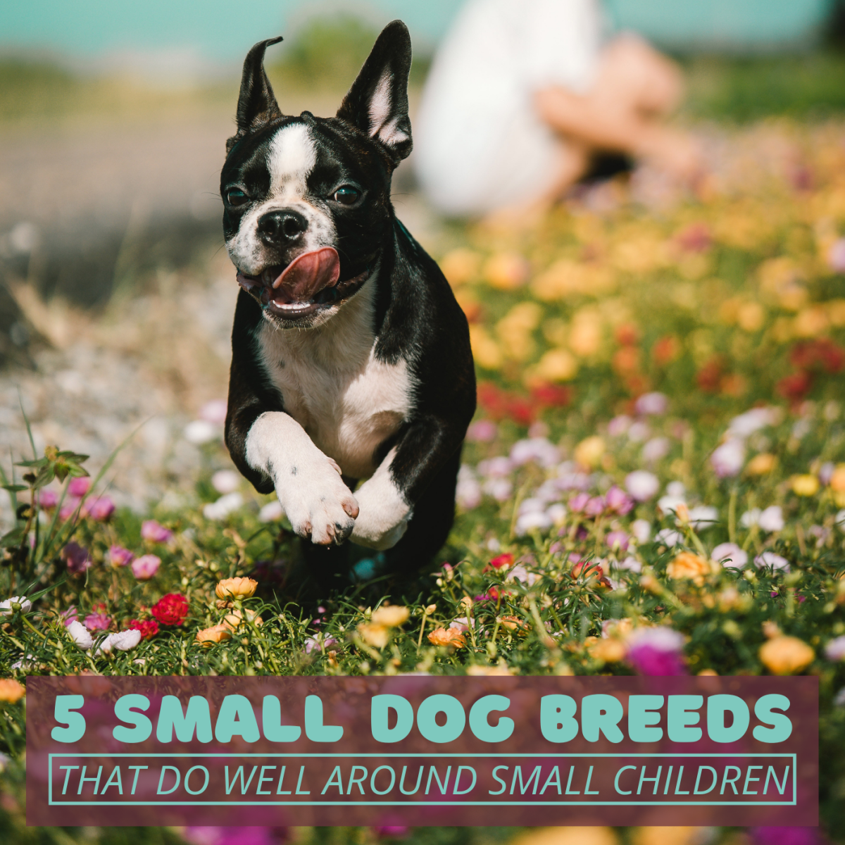 The Boston Terrier is one of the top five small dog breeds I would recommend to families with toddlers or young children.