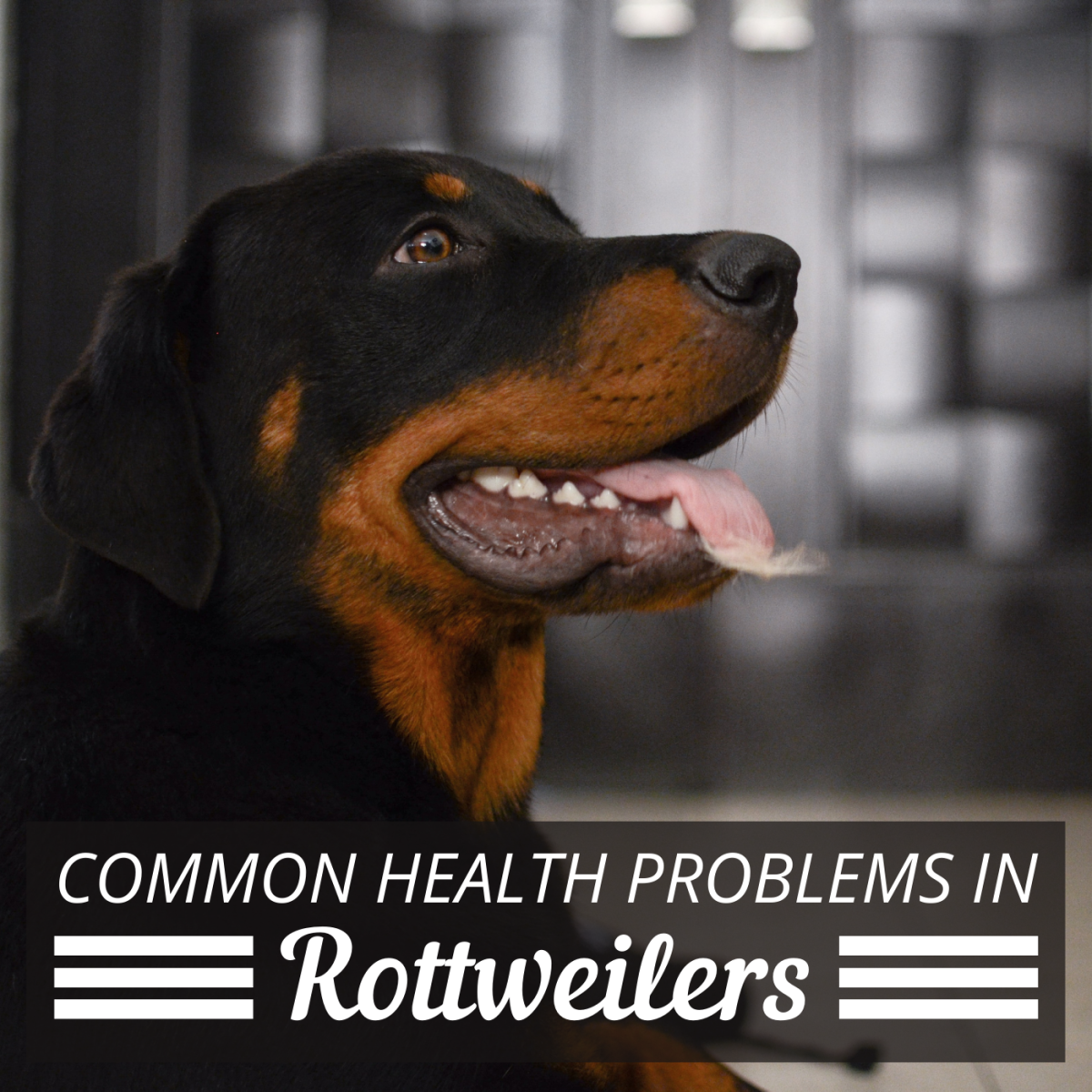 Rottweilers are prone to a number of health issues, so it's important that they see a vet consistently.