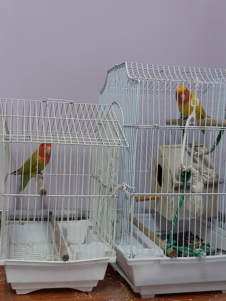 If you have two birds, keep them in separate cages beside each other. This will help them become familiar without unnecessary fights or stress.