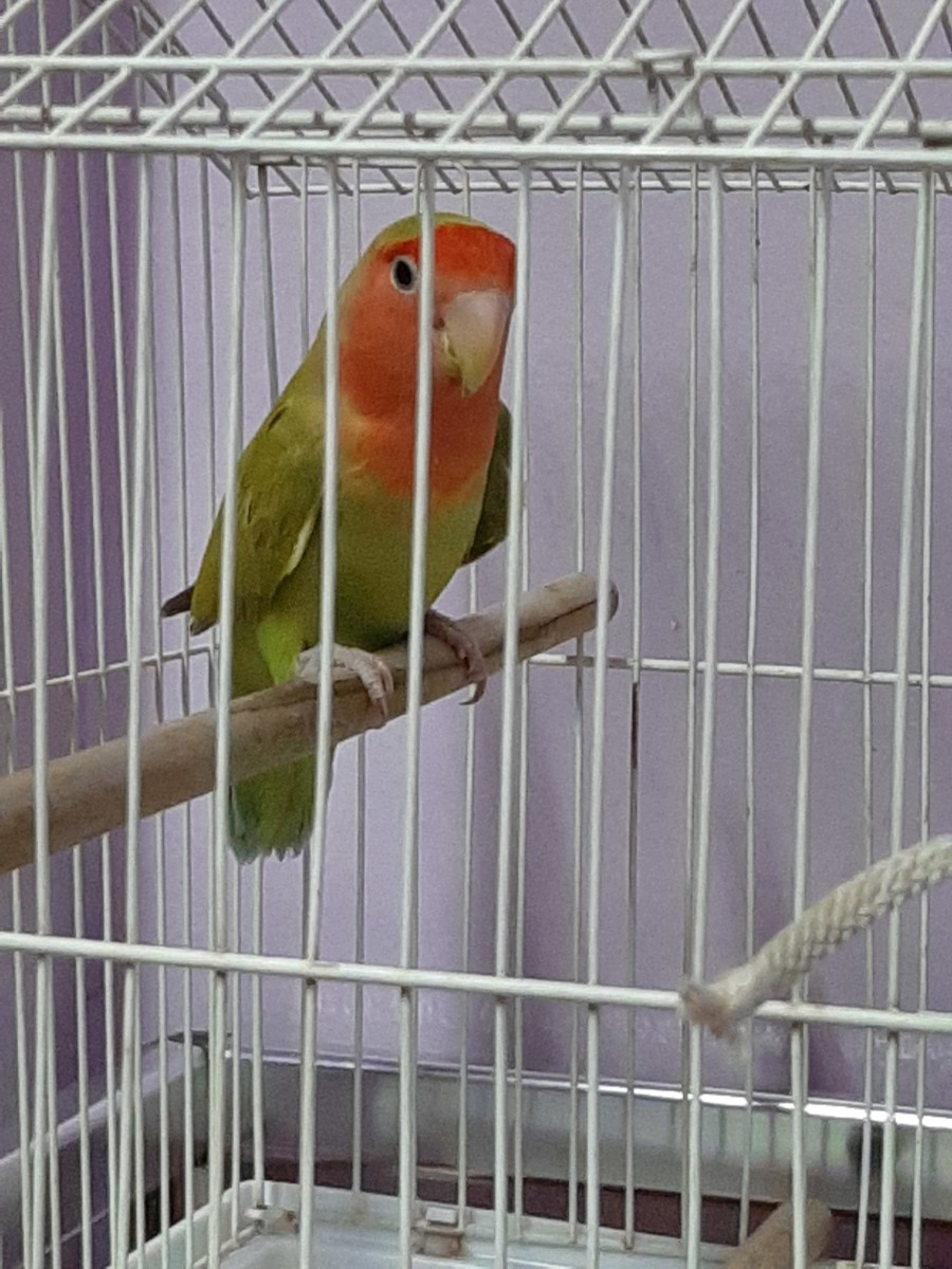 This picture was taken on 24th July 2019, the day my lovebird Juju had first come home. You can see that she looks nervous and alert.